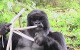 Kütür Kütür Bambu Yiyen İştahlı Goriller