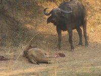 Buffalo'nun Aslanı Perişan Etmesi