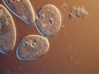 Aşkları Toplum Tarafından Engellenen Tek Hücreliler