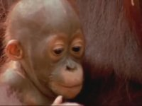 Orangutan'ın Öğrenme Becerisi