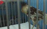 Başı Kopuk Yaşayan Tavuk  Tayland