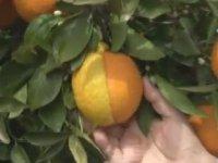 Yarısı Limon, Yarısı Portakal Meyve - Antalya