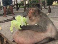 Aşırı Obez Maymun Marul Keyfi
