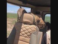 Safari Turunda Arabasına Çita Alan Adam