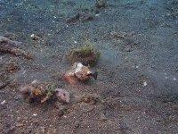 Tavuk Gibi Giden Akrep Balığının Hızlı Avı