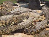 Hayvanat Bahçesindeki Timsahların Yemek Kavgası