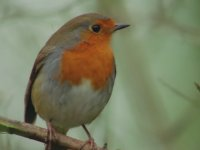 Küçük Ama Saldırgan Olan Kızılgerdan Kuşu