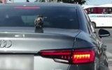 Otomobilin Bagaj Kapağında Şehir Turu Yapan Güvercin