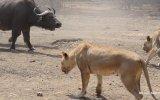 Aslan Sürüsü  Buffalo Sürüsüne Karşı