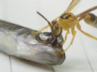Yakın Çekimde Balığın Gözünden Arının Beslenmesi