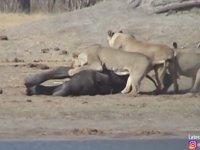 3 Barzo Aslanın Yavru Fili Avlaması (Yürek Dayanmaz)