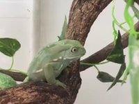 Yemeği Elinin Tersiyle İten Atarlı Kurbağa