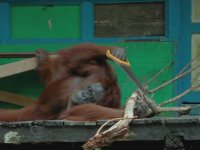 Testere Bulan Orangutan - Zeka İçerir