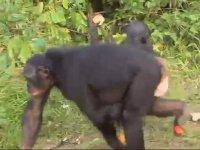 Bonobo ve Şempanzelerin Farkı