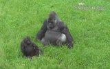 Babasının Dikkatini Çekmeye Çalışan Goril