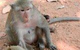 Annesinin İşkence Ettiği Yavru Maymun