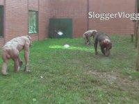 Tüysüz Şempanzeler