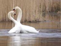 Kuğuların Çiftleşmesi ve Tutkulu Dansı
