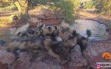 Vahşi Köpeklerin Ağzında Hunharca Parçalanan Domuz 18