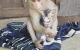 Maymunun Yavru Kedi Sevgisi
