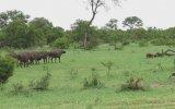 Tek Başına Bufalo Sürüsünün Ortasına Dalan Kararlı Aslan