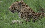 Dişi Leoparların Kavga Etmesi