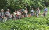 Gürcistanlı İşçilerin Asker Tekmili Verip Çay Toplaması
