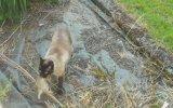 Yakaladığı Tavşanı Baykuşa Kaptıran Kedi