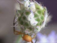 Bal Arılarının Hayalet Avcıları - Beyaz Yengeç Örümceği