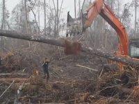 Buldozere Meydan Okuyan Orangutan