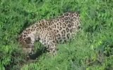 Tek Hamlede Timsah Avlayan Jaguar