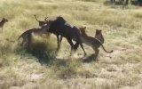 8 Aslanın Arasından Sağ Çıkan Antilop