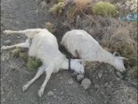Arazisine Giren Keçilere Kurşun Yağdıran Hırbo