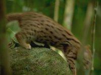 Dünyanın En Küçük Vahşi Kedisi