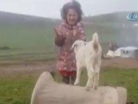 Keçi Yavrusuna Şarkı Söyleyerek Dans Ettiren Küçük Kız