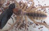 Akrep ve Çıyanın Yiyemediği Böcek Camel Spider vs Carabus