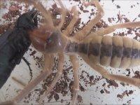 Akrep ve Çıyanın Yiyemediği Böcek (Camel Spider vs Carabus)