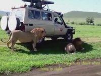 İçeri Doğru Sıçırtan Aslan Bakışı