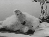 Kesik Başlı Köpeği Hayatta Tutma Deneyi (1939)