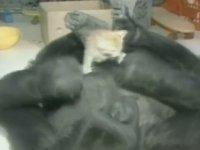 Goril Koko'nun Ölmesi