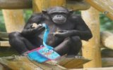 Ressam Şempanze  Polonya