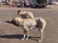 Köpeğe Sıcak Havada Kuzu Postu Giydirmek