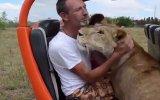 Aslanın Turistlere Sevgi Gösterisinde Bulunması
