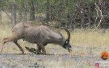 Aslanlara Karşı Tek Başına Mücadele Eden Antilop