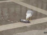 Sen Ne Bahtsız Bir Kardeşimizsin Ey Güvercin!