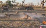 Vahşi Köpekler Tarafından Saldırıya Uğrayan Aslan