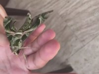 Kamuflaj Desenli Mekik Kelebeğinin Görüntülenmesi