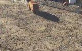 Kendini Bekçi Köpeği Zanneden Wombat