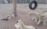 Minik Köpeğin Yavru Aslanlara Kafa Tutması