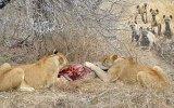 Sırtlan Sürüsüne Avını Kaptıran Dişi Aslan